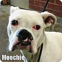 Adopt A Pet :: Moochie - Encino, CA