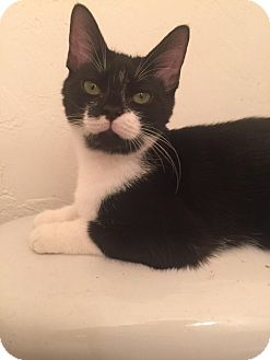 Domestic Shorthair Kitten for adoption in Gainesville, Florida - Nagini