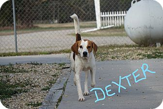 Hound (Unknown Type) Mix Dog for adoption in Stony Creek, Virginia - Dexter