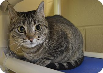 Domestic Shorthair Cat for adoption in Germantown, Tennessee - Maggie