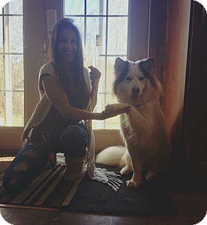 Samoyed/Border Collie Mix Dog for adoption in Ottawa, Ontario - Sabrina