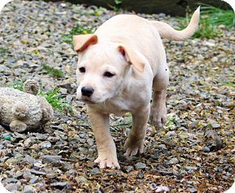 Labrador Retriever Mix Puppy for adoption in Salem, Oregon - Lillian