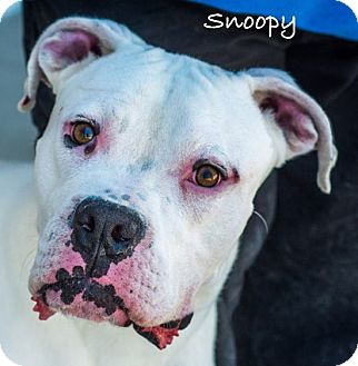 Boxer Mix Dog for adoption in Lancaster, Texas - Snoopy