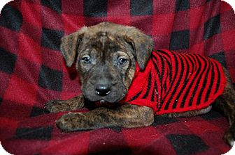 Rottweiler/Mastiff Mix Puppy for adoption in Minot, North Dakota - Kincade