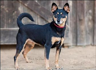 Manchester Terrier/Jack Russell Terrier Mix Dog for adoption in Olive Branch, Mississippi - Evanna