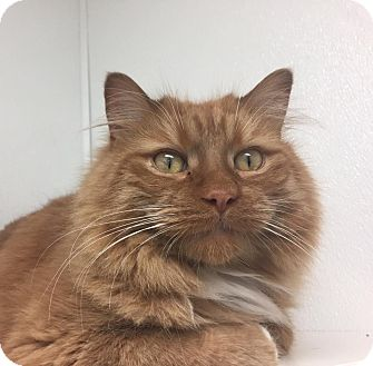 Domestic Longhair Cat for adoption in Jackson, Michigan - Kevin