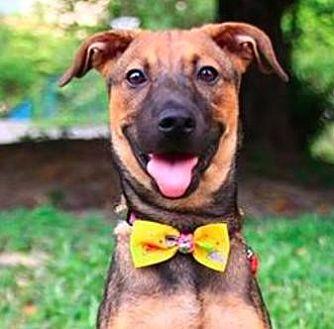 Shepherd (Unknown Type)/Terrier (Unknown Type, Medium) Mix Puppy for adoption in San Ramon, California - Angie