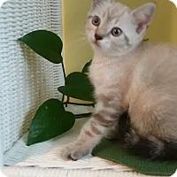 Adopt A Pet :: Creampuff - Orlando, FL