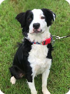 Australian Shepherd Mix Dog for adoption in Fort Valley, Georgia - Jupiter