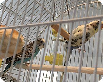 Parakeet - Other for adoption in Punta Gorda, Florida - Max & Ruby