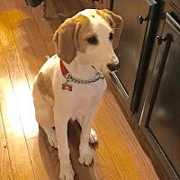 Adopt A Pet :: Jagger - Potomac, MD