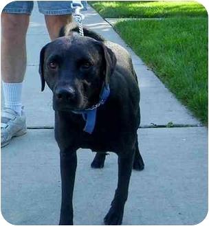 Labrador Retriever Mix Dog for adoption in Chicago, Illinois - Jerry(ADOPTED!)