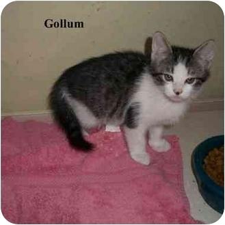 Domestic Longhair Kitten for adoption in Slidell, Louisiana - Gollum