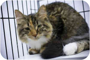 Maine Coon Kitten for adoption in Houston, Texas - Annabelle