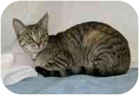 Domestic Shorthair Cat for adoption in Powell, Ohio - Ivy