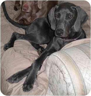 Weimaraner Dog for adoption in Humble, Texas - Ashley