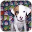 Photo 1 - Boxer Mix Puppy for adoption in Coudersport, Pennsylvania - Jersey