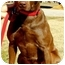 Photo 3 - Labrador Retriever Mix Dog for adoption in Pawling, New York - RILEY