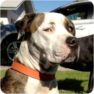 American Pit Bull Terrier Mix Dog for adoption in Gilbert, Arizona - Sam