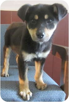 Shepherd (Unknown Type) Mix Puppy for adoption in Detroit, Michigan - Sadie