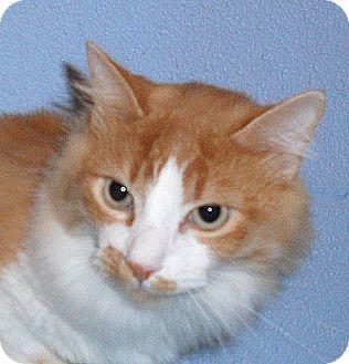 Domestic Mediumhair Cat for adoption in Hayden, Idaho - Goku