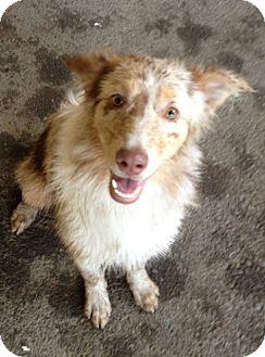 Australian Shepherd Dog for adoption in Gustine, California - SIERRA