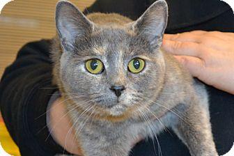 Domestic Shorthair Cat for adoption in Elyria, Ohio - Puddin
