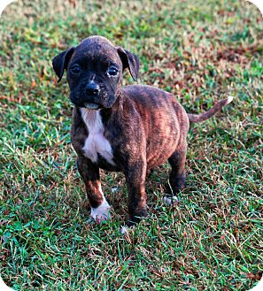 Boxer Puppy for adoption in Lawrenceville, Georgia - Shamrock