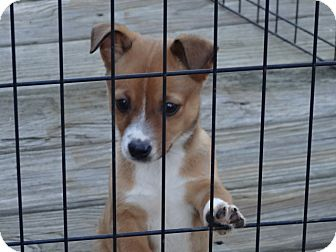 Chihuahua/Jack Russell Terrier Mix Puppy for adoption in Syacuse, New York - Jeremy