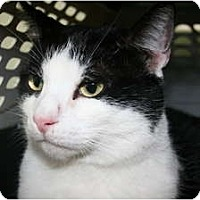 Adopt A Pet :: Nico - Frederick, MD