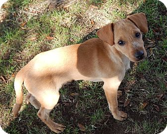 Chihuahua/Dachshund Mix Puppy for adoption in Westport, Connecticut - Jacob