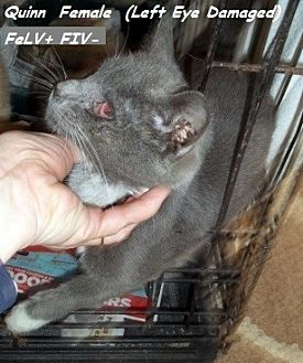 Domestic Mediumhair Cat for adoption in Hazard, Kentucky - Quinn