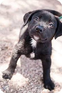 Australian Shepherd Mix Puppy for adoption in Rosemount, Minnesota - Delila