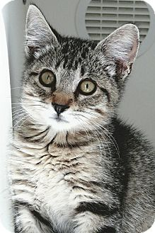 Domestic Mediumhair Kitten for adoption in Meridian, Idaho - Norman
