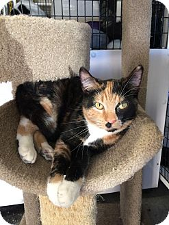 Domestic Shorthair Cat for adoption in La Grange Park, Illinois - Jamie