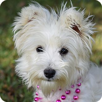 Westie, West Highland White Terrier/Poodle (Miniature) Mix Dog for adoption in Glastonbury, Connecticut - Mazy