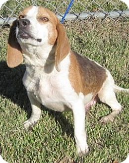 Beagle Mix Dog for adoption in Olive Branch, Mississippi - Hunter