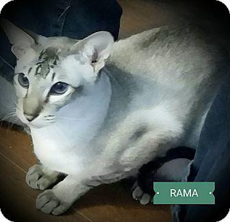 Siamese Cat for adoption in Fairborn, Ohio - Rama