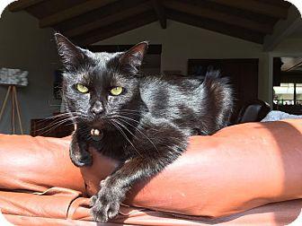 Domestic Shorthair Cat for adoption in Santa Ana, California - Winny
