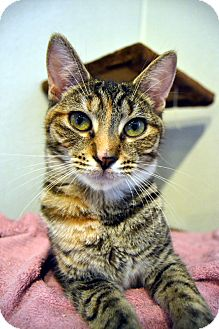 Domestic Shorthair Cat for adoption in Broadway, New Jersey - Havana