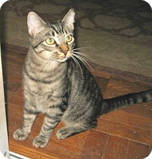 Domestic Shorthair Kitten for adoption in Colmar, Pennsylvania - Parker