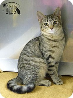 Domestic Shorthair Kitten for adoption in Marlinton, West Virginia - Angela
