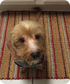 Dachshund Mix Dog for adoption in Plano, Texas - Rory