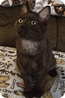 Domestic Shorthair Kitten for adoption in North Highlands, California - PatrickC
