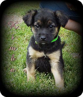 German Shepherd Dog/Golden Retriever Mix Puppy for adoption in Denver, North Carolina - Kimba