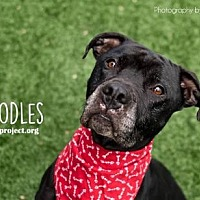 Pit Bull Terrier Mix Dog for adoption in Kansas City, Missouri - Doodles