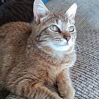 Domestic Shorthair Cat for adoption in Lexington, North Carolina - Tammy