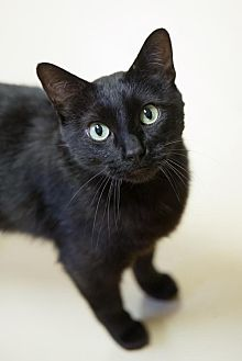 Domestic Shorthair Cat for adoption in St. Paul, Minnesota - Fiddle Sticks
