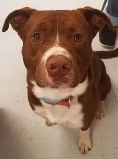 American Staffordshire Terrier Mix Dog for adoption in Savannah, Tennessee - Logan