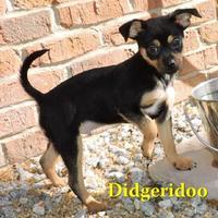 Adopt A Pet :: Didgeradoo - Phenix City, AL